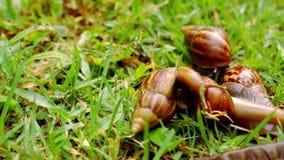 Zbliżenie dużo czołgać się, kocha i je, ślimaczki zbiory