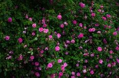 Zbliżenie duży krzak z mnóstwo różowymi różami z ciemnozielonymi liśćmi obrazy stock
