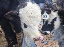 Zbliżenie dwa czarny i biały krów jeść, jeden podnosi swój nos i fotografia royalty free