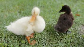 Zbliżenie dwa kaczątka czyści ich piórko na zielonej trawie w parku zbiory
