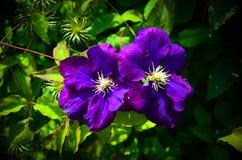 Zbliżenie dwa pięknego fiołka kwiatu otaczającego zielonymi liśćmi fotografia royalty free