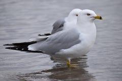 Zbliżenie dwa pięknego seagulls stoi w jeziorze w Toronto, Kanada fotografia royalty free