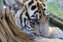Zbliżenie dwa roczniaka Syberyjski Tygrysi lisiątko Obrazy Royalty Free