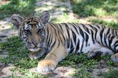 Zbliżenie dwa roczniaka Syberyjski Tygrysi lisiątko Obrazy Stock