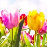 Zbliżenie dwa wibrującego świeżego tulipanu outdoors obraz royalty free