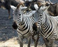 Zbliżenie dwa zebry głowy z wildebeest w bacground Obraz Stock