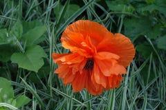 Zbliżenie dwoisty pomarańczowy kwiat orientalny maczek fotografia stock
