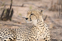 Zbliżenie Dziki x28 & gepard; Acinonyx jubatus& x29; Kłamać na ziemi Zdjęcia Royalty Free