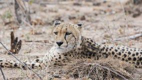 Zbliżenie Dziki x28 & gepard; Acinonyx jubatus& x29; Kłamać na ziemi Zdjęcie Stock