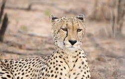Zbliżenie Dziki x28 & gepard; Acinonyx jubatus& x29; Kłamać na ziemi Fotografia Stock