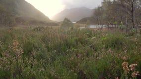 Zbliżenie dziki lawendy pole zdjęcie wideo