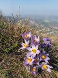 Zbliżenie dziki pasque kwiat w wiośnie zdjęcie stock