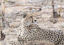 Zbliżenie Dziki x28 & gepard; Acinonyx jubatus& x29; Kłamać na ziemi Zdjęcia Stock