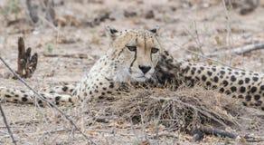 Zbliżenie Dziki x28 & gepard; Acinonyx jubatus& x29; Kłamać na ziemi Fotografia Royalty Free