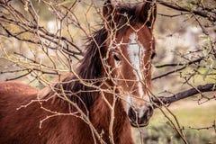 Zbliżenie dzikiego źrebaka koński spoglądanie przez krzaków Zdjęcia Stock