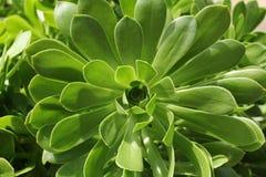 Zbliżenie echeveria roślina Obrazy Royalty Free
