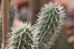 Zbliżenie elongated zielony kaktus z białymi prickles fotografia stock