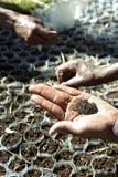 Zbliżenie etiopczyk ręki i drzew ziarna Obrazy Royalty Free