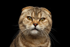 Zbliżenie fałdu Gniewny Szkocki kot z sprytem przygląda się Odosobnionego czerń Zdjęcia Stock