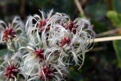 Zbliżenie fascynować brodatego kwiatu fotografia stock