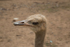 Zbliżenie fotografia śliczny emu ptak Zdjęcie Stock