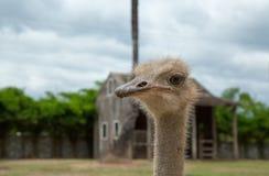 Zbliżenie fotografia śliczny emu ptak Obrazy Stock