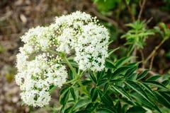 zbliżenie fotografia białego kwiatu kozłek obrazy stock