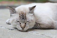 Zbliżenie fotografia grubego sypialnego punktu siamese kot obraz stock