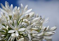 Zbliżenie fotografia leluja Nil, także nazwany Afrykanin Białej lelui kwiat Obraz Stock