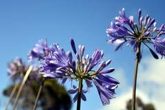 Zbliżenie fotografia leluja Nil, także nazwany Afrykanin lelui Błękitny kwiat Obrazy Royalty Free