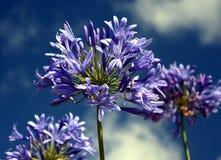 Zbliżenie fotografia leluja Nil, także nazwany Afrykanin lelui Błękitny kwiat Zdjęcie Stock
