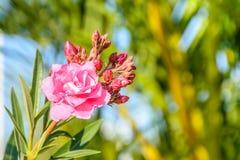 Zbliżenie fotografia piękny kwiat, oleander zdjęcia royalty free