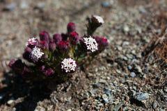 Zbliżenie fotografii gór kwiatów himalaje Piękny końcówki lata sezonu tło horyzontalny Żadny ciało wizerunek Fotografia Royalty Free