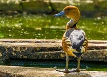 Zbliżenie fulvous gwizdanie kaczki pozycja przy wodną stroną, tropikalny ptasi specie od Afryka i Ameryka, obrazy stock