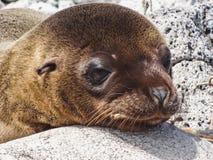 Zbliżenie futerkowa foka Galapagos wyspy Ecuador zdjęcia royalty free