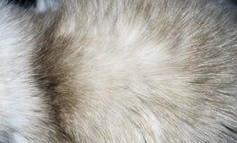 Zbliżenie futerkowa tekstura od kota ` s półpostaci Zdjęcie Stock
