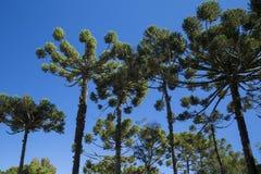 Zbliżenie górna część araukarii angustifolia (Brazylijska sosna Fotografia Royalty Free