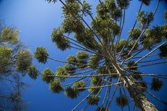 Zbliżenie górna część araukarii angustifolia (Brazylijska sosna Obraz Stock