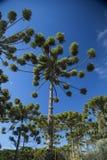 Zbliżenie górna część araukarii angustifolia (Brazylijska sosna Obraz Royalty Free