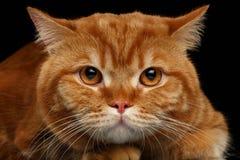 Zbliżenie głowa Gniewny Czerwony Brytyjski kot odizolowywający na czerni obrazy royalty free
