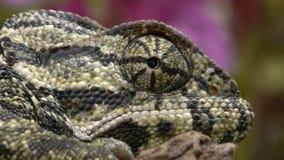 Zbliżenie głowa kameleon zdjęcie wideo