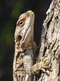 Zbliżenie głowy strzał Roughtail skały Agama fotografia stock