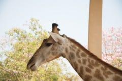 Zbliżenie głowy strzału żyrafa na natury tle obrazy royalty free
