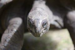 Zbliżenie gigantyczny tortoise przy Curieuse wyspą, Seychelles Zdjęcia Royalty Free