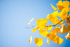 Zbliżenie ginkgo gałąź z kolorem żółtym opuszcza na niebieskim niebie Fotografia Stock
