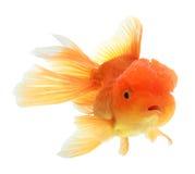 Zbliżenie goldfish odizolowywający Obrazy Stock