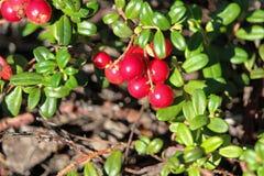 Zbliżenie halny cranberry przy końcówką lato zdjęcia stock