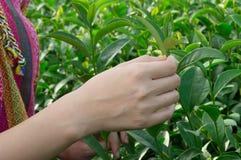 Zbliżenie herbaciani liście w ręce Zdjęcia Stock