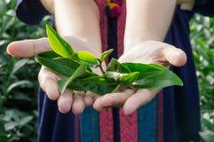 Zbliżenie herbaciani liście w ręce Fotografia Stock