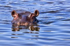 zbliżenie hipopotam Obrazy Royalty Free